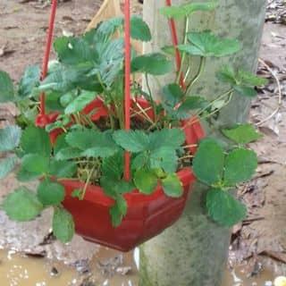 cây dâu tây của ducduy70 tại Quảng Trị - 1617210