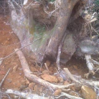 Cây gỗ tạo giáng của trung1082 tại Bắc Kạn - 2469386
