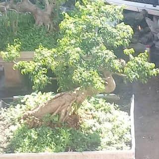 Cay kieng của xaemamtham tại Shop online, Huyện Ngã Năm, Sóc Trăng - 3917067