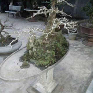 Cây lộc vừng của tiendai111 tại Bình Thuận - 2434401