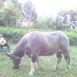 Chân trau của buitoan12345 tại Shop online, Huyện Yên Sơn, Tuyên Quang - 2828645