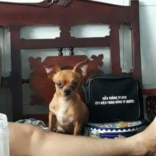 Chihuahua đực của buigiahao tại Hồ Chí Minh - 2812340