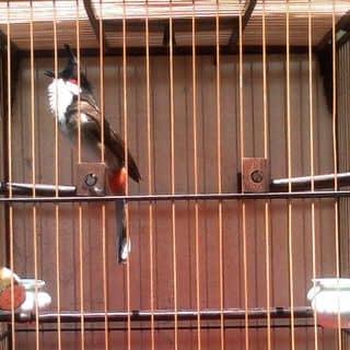 Chim chào mào của tanrom tại Đà Nẵng - 2601414