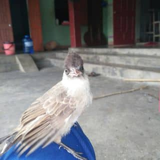 Chim chào mào của hoangvu192 tại Hà Tĩnh - 1461231