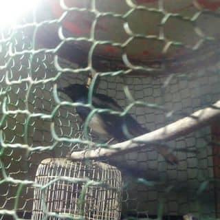 Chim chich chòe của sonmaulanh tại Hòa Bình - 3270844