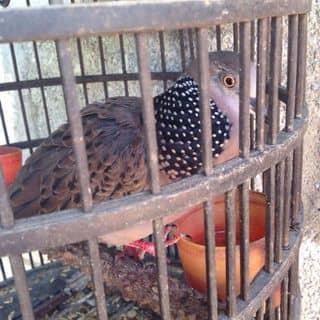 Chim cu gáy của tancotaima tại tt. Đồng Đăng, Thành Phố Lạng Sơn, Lạng Sơn - 2072108