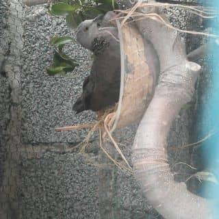 Chim cu gáy của vuthang44 tại Trường THPT Tiên Lữ, Thành Phố Hưng Yên, Hưng Yên - 1409761
