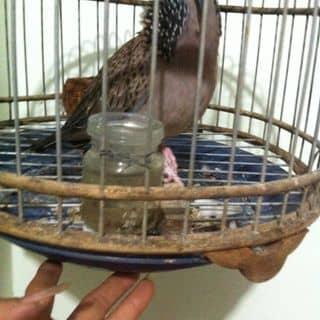 chim cu gay  của atrong1 tại Bình Phước - 1585187