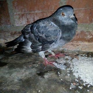 Chim cu nhà của vananh446 tại 86 Hoàng Văn Thụ, Hai Riêng, Thành Phố Tuy Hòa, Phú Yên - 2148852