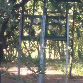 Chim lẫn lồng của chuoixanh2 tại Tây Ninh - 1784776