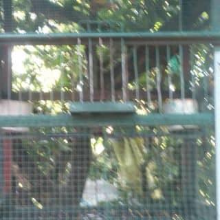 Chim sáo của chuoixanh2 tại Tây Ninh - 1784716
