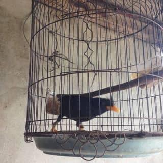 Chim sáo đen của htinh277 tại Quảng Bình - 2730376