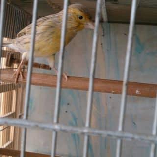Chim yen hot agat vang của chimyenhot tại Hồ Chí Minh - 2677313