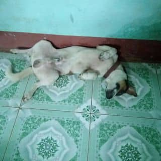 Chó của duongvan13 tại Ngã 4 Đồng Xoài, Thị Xã Đồng Xoài, Bình Phước - 757010