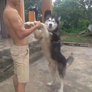 Chó alaka của benbiendemtrang tại Thịnh long, Thành Phố Nam Định, Nam Định - 2928638