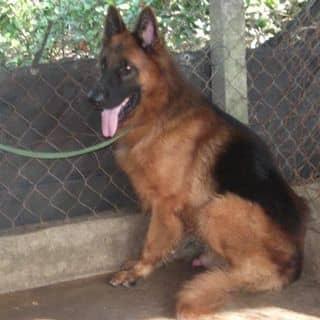 Chó begie Đức 35kg của nguyentuan1610 tại 98 Đinh Tiên Hoàng, Thành Phố Vĩnh Long, Vĩnh Long - 2735407