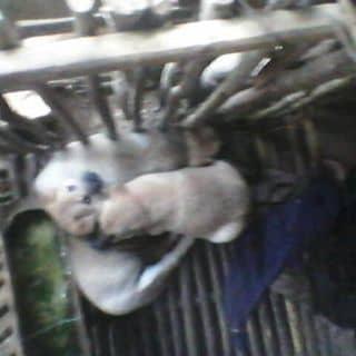 Chó con của tuyen1235 tại SVĐ tỉnh Sơn La, Trần Đăng Ninh, Quyết Thắng, Thành Phố Sơn La, Sơn La - 1513282