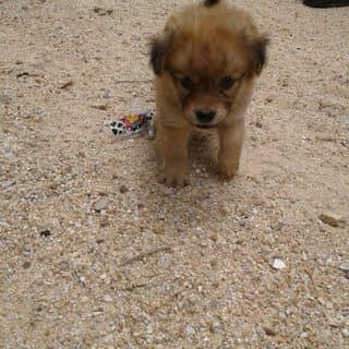Chó cực dễ thương của minhduy061097 tại Phú Yên - 1445373