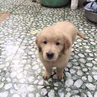Chó golden của thaimeo2302 tại 1 Phủ Liễn, Thành Phố Thái Nguyên, Thái Nguyên - 1150839