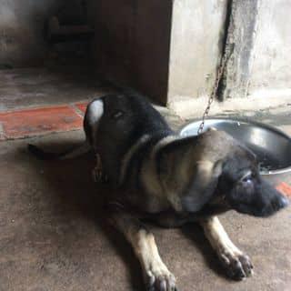 Chó lai bạc dê của sonvkiu tại Kiên Giang - 1704205