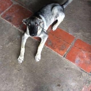 Chó lai becgie của sonvkiu tại Kiên Giang - 2158325