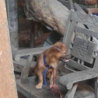 Chó lai phốc sóc của nguyentu1191 tại Shop online, Quận Tân Phú, Hồ Chí Minh - 3727290