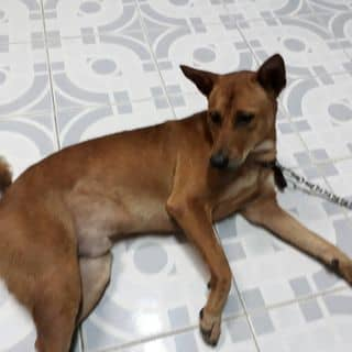Chó Nâu của lebaolong1 tại Sóc Trăng - 2212849