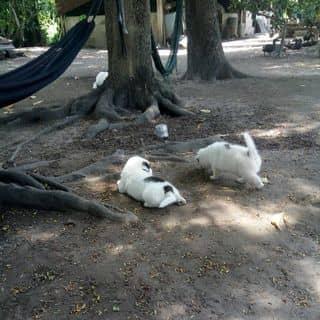 Chó Nhật Lai Phú Quốc của ngocphan95 tại Lê Thị Hà, Huyện Hóc Môn, Hồ Chí Minh - 3799740