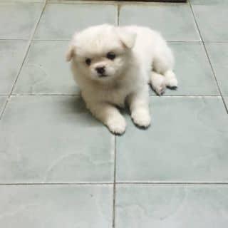 Chó phốc sóc lai bắc kinh của phuonguyen287 tại Đà Nẵng - 3459549
