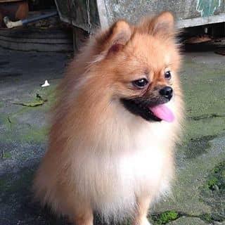 Chó Phốc Sóc thuần chủng của hoanglongthe86 tại Hưng Yên - 2587908