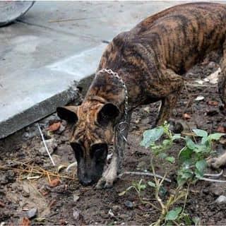 Chó phú quốc của tanrom tại Đà Nẵng - 2787863