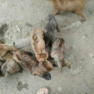 Chó Phú quốc thuần chủng của tranhai134 tại Thái Bình - 2592465