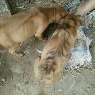 Chó Phú quốc thuần chủng của tranhai134 tại Thái Bình - 2614202