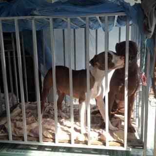 Chó Pitbull của nguyentiendung6181 tại Hồ Chí Minh - 1762855