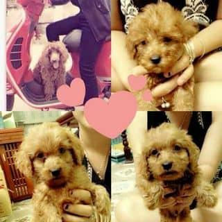 Chó Poodle của kieutrang98 tại 0942971212, Thành Phố Nam Định, Nam Định - 2244243