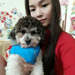 Chó Poodle của huong134 tại Bắc Ninh - 2300000