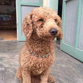 Chó Poodle đực của tranthang239 tại Hải Dương - 2769126
