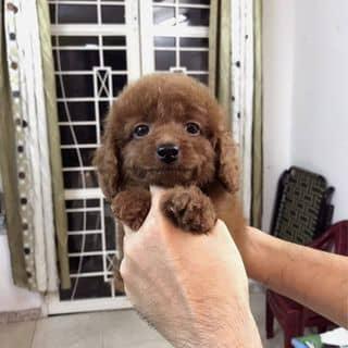Chó POODLE nâu đỏ & Trắng kem! của hungphan1981 tại Hồ Chí Minh - 3239343