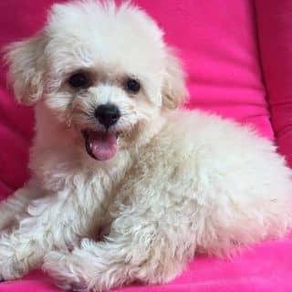 Chó Poodle tiny màu kem  của beosieudan tại Hải Dương - 1638858