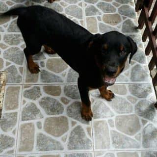Chó rottweiler  của transunny3 tại Hồ Chí Minh - 1727408