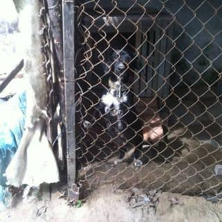 Chó tai dài siêu dễ thương của hongthanhtv tại Trà Vinh - 2294728