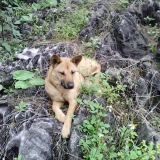 Chó Vàng của holytjeu tại Tuyên Quang - 2540767