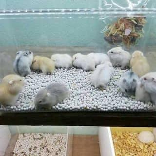 Chuột hamster của baohan200 tại Hoà thành, Thị Xã Tây Ninh, Tây Ninh - 3084092