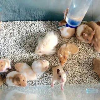 Chuột hamster của kimhoa1993 tại Shop online, Huyện Ngã Năm, Sóc Trăng - 2571100