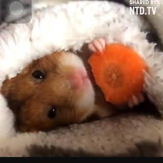 chuột hamster dễ nuôi giá từ 30-70k 1 bé  của nezreal tại Lâm Đồng - 1849653