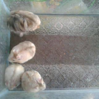 Chuột Hamter của huyentrang429 tại Trà Vinh - 1153640