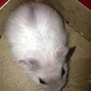 Chuột hamter của phuong383 tại Trà Vinh - 1267087