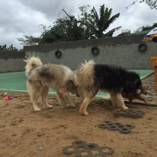 Có ai muốn nuôi chó này ko ta của quangle002002 tại Gia Lai - 2342136