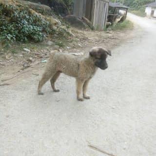 Con chó nâu trắng của 0941127934 tại Hà Khẩu, Thành Phố Lào Cai, Lào Cai - 1474463