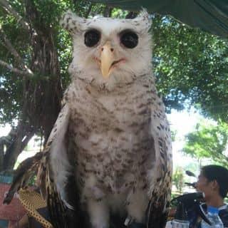 Cú đại bàng - eagel owl của bachvan1993 tại Ngã 6 Chùa Bà, Thị Xã Thủ Dầu Một, Bình Dương - 1073789